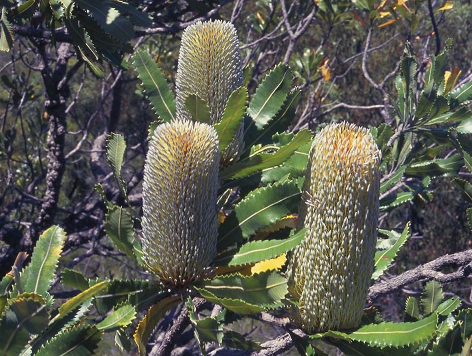 Old Man Banksia