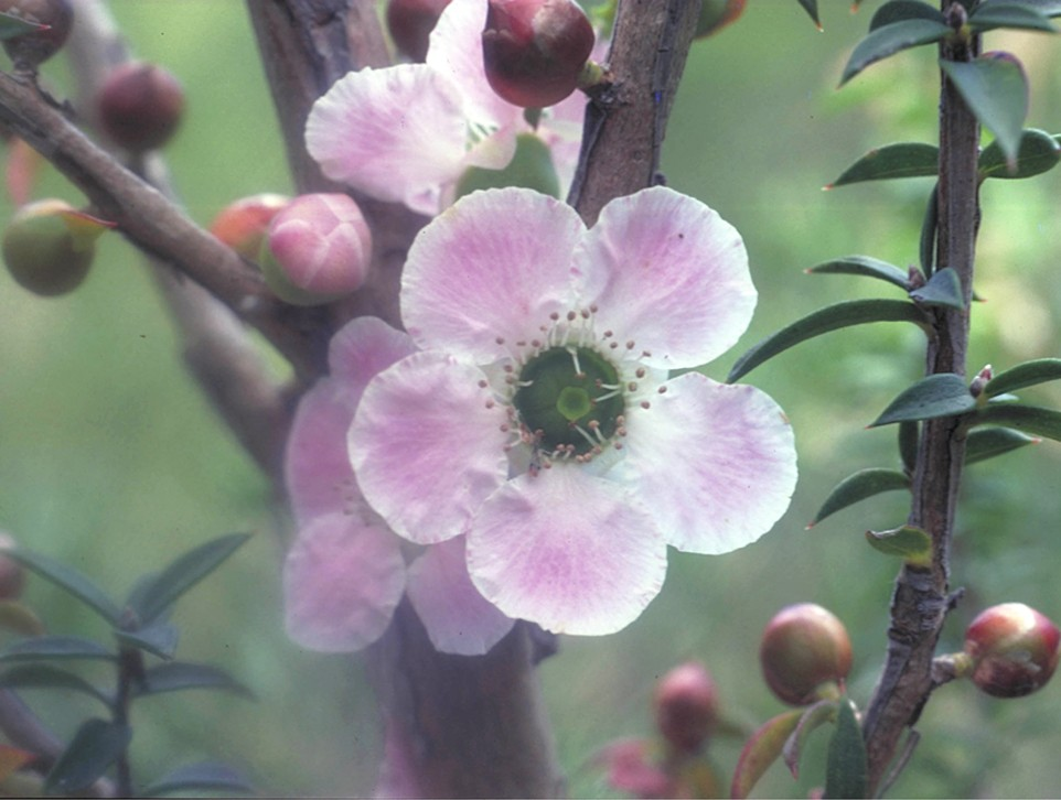 Peach-flowered Tea-tree