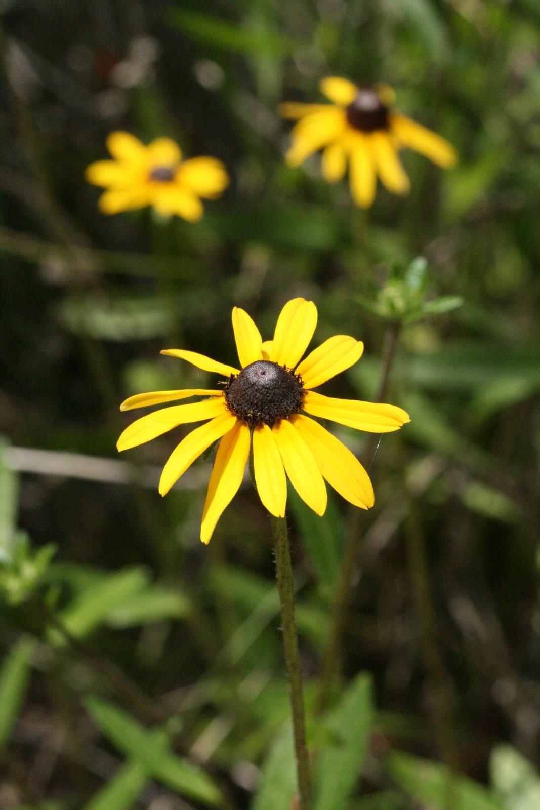 Black-Eyed Susan 10 ml.
