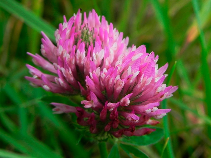 Red Clover 10 ml.