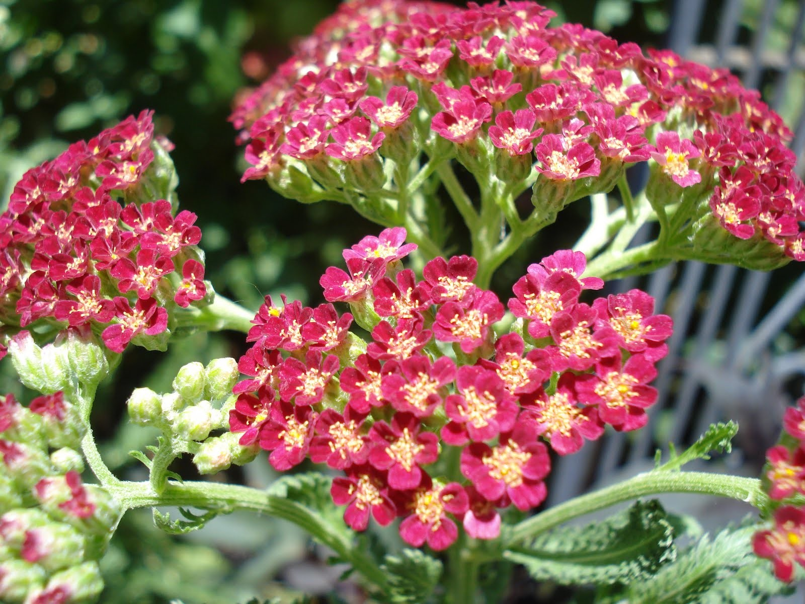 Yarrow Pink 25 ml.