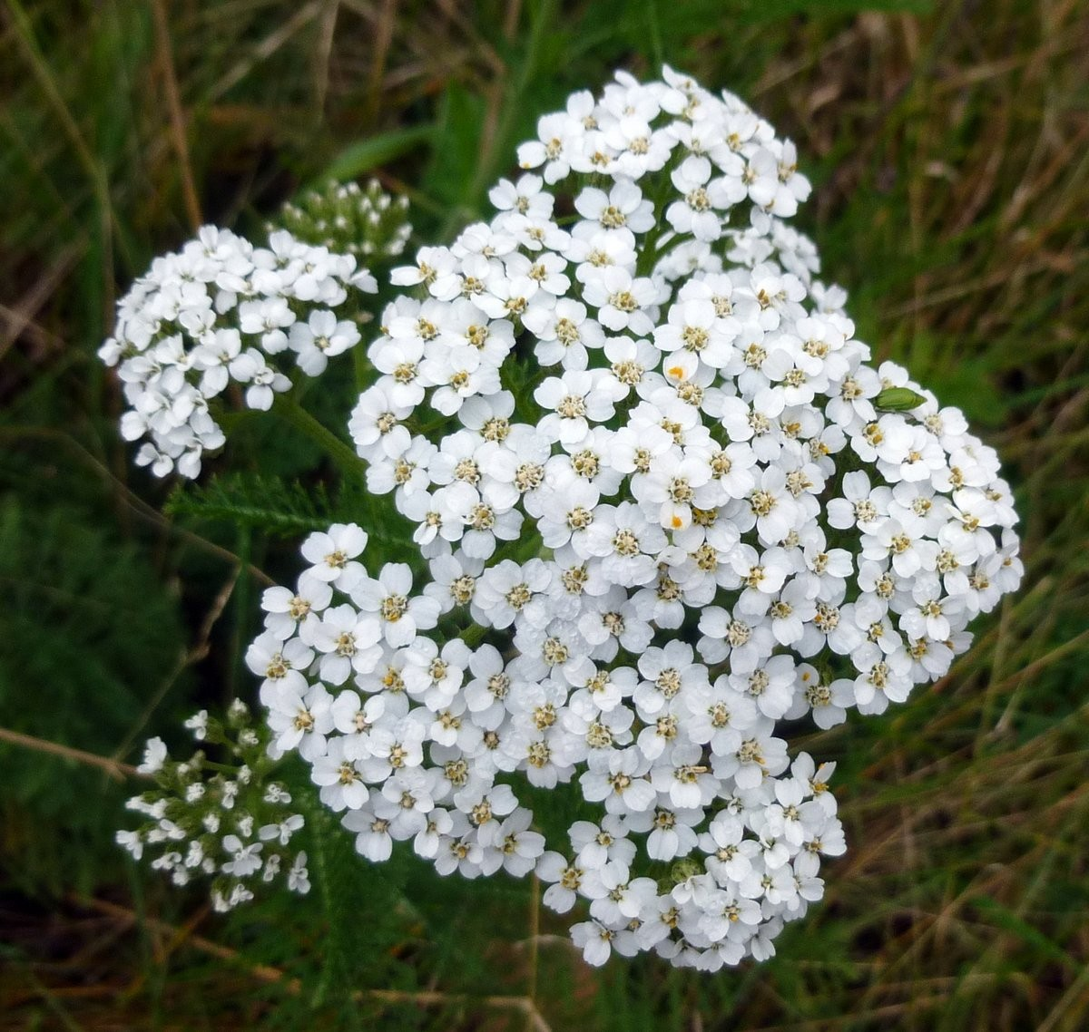 Yarrow White 10 ml.