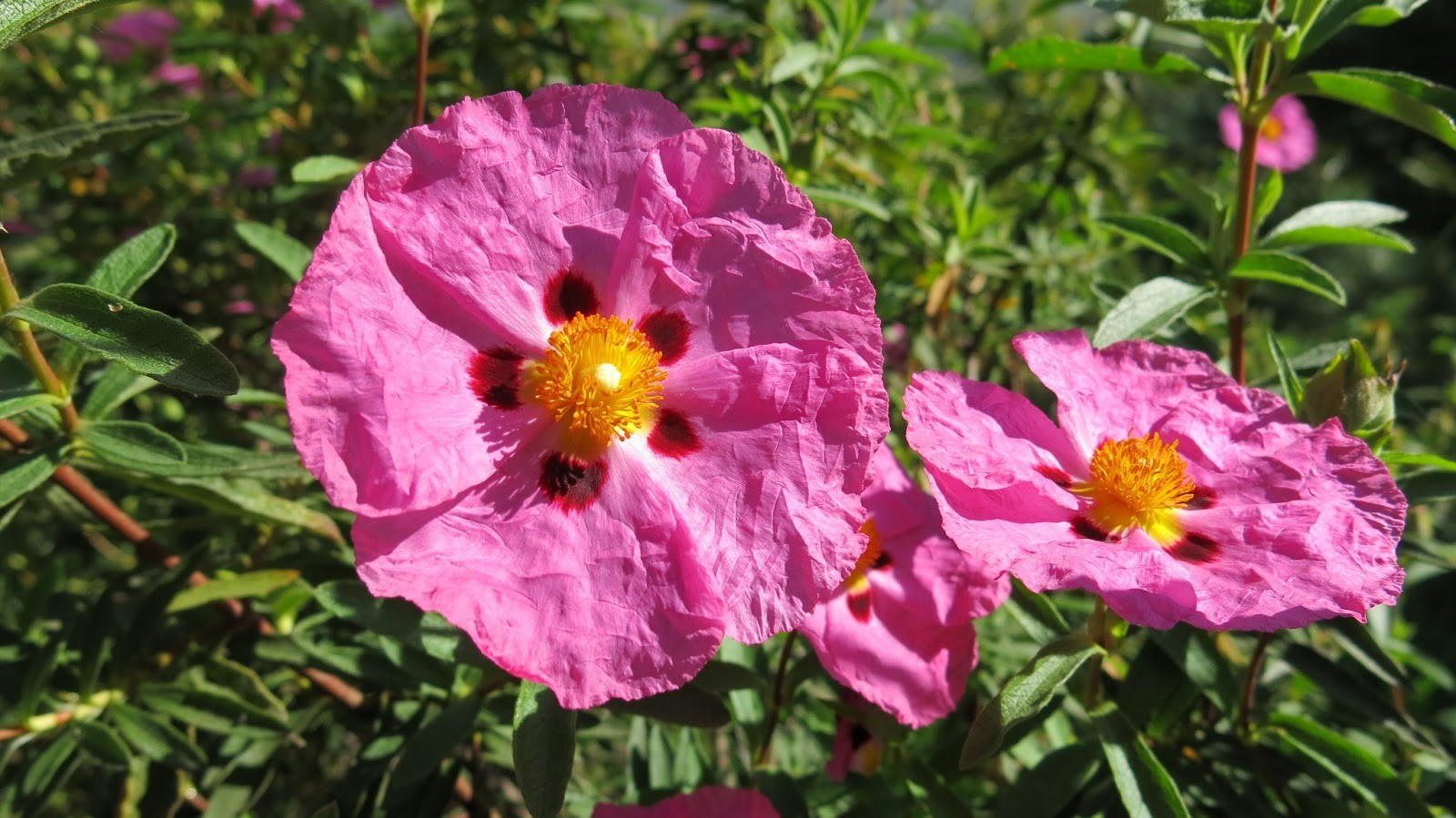 Rock Rose - Golden Bach