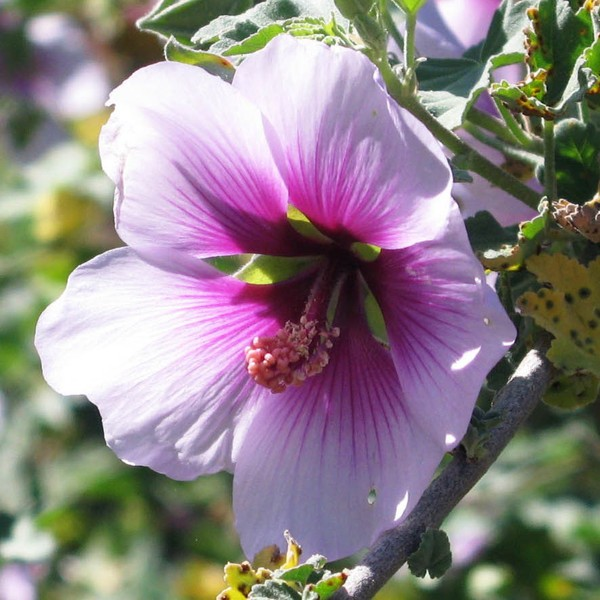 Rose Mallow - Puro y Simple