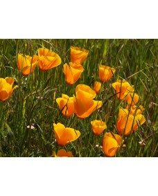 California Poppy 10 ml.