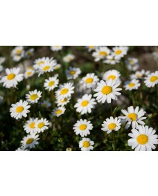 Chamomile 25 ml.