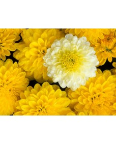 Chrysanthemum 25 ml.