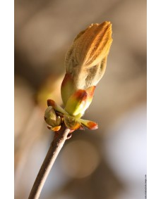 Chestnut Bud 25 ml.