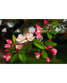 Crab Apple 25 ml.