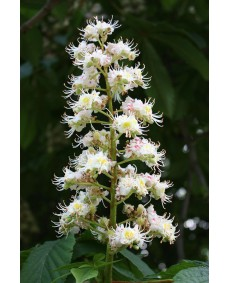White Chestnut 10 ml.