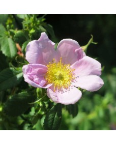 California Wild Rose (El amor de la vida) - Golden Bach