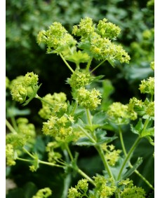 Lady's Mantle (Alquemila)