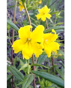 Mimulus - Golden Bach