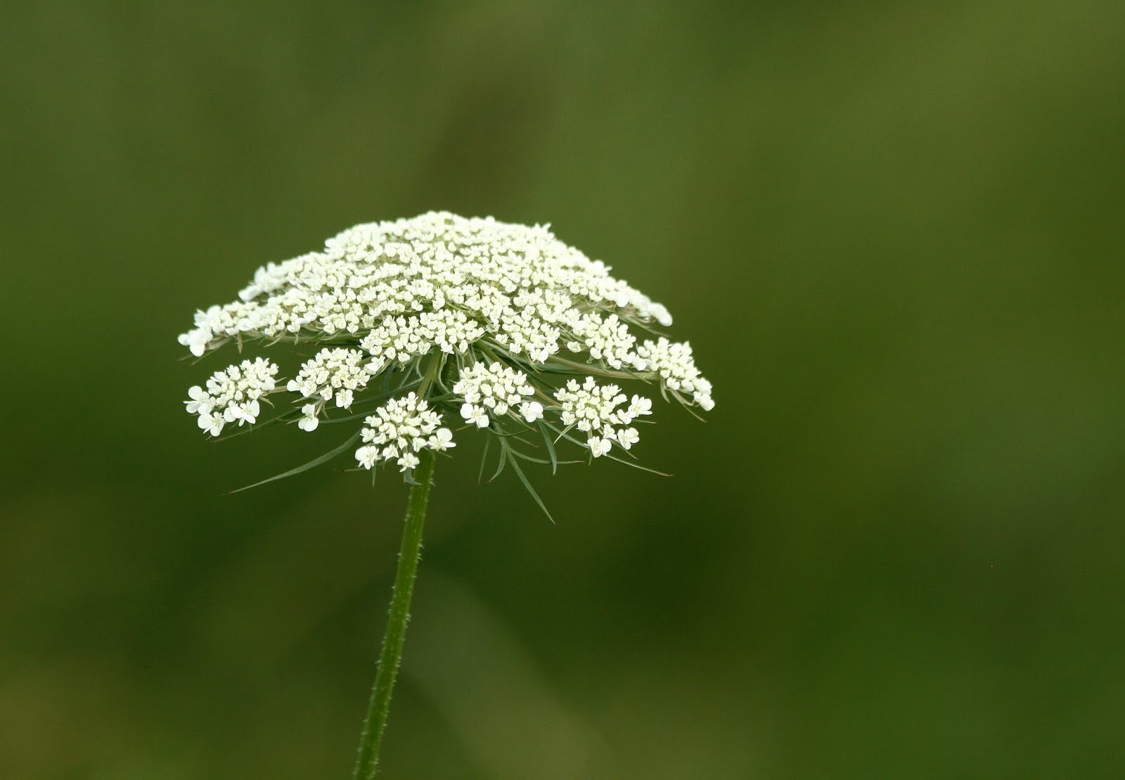 Queen Anne's Lace 10 ml.