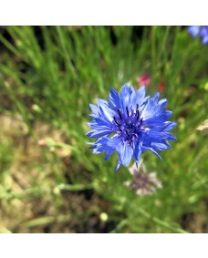 Chicory - Golden Bach